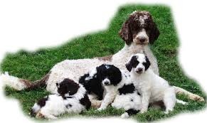 standard poodles and poodle puppies