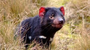 Animals: Diavolo della Tasmania