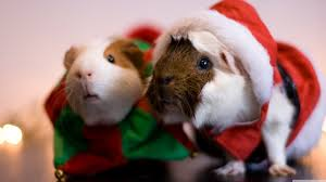 santa guinea pig ultra hd desktop