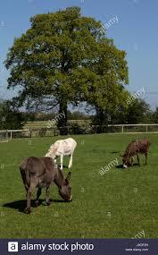 Donkies grazing, Ada Cole Rescue Centre, Redwings Horse Sanctuary Stock  Photo: 137964449 - Alamy