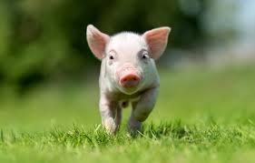 wallpaper gr look little pig