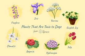 flowers deadly to dogs