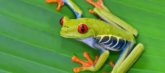 Frog Decals