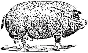 File:Collier's 1921 Hog Poland-China Boar.png - Wikimedia Commons