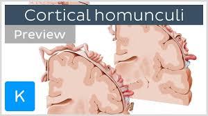 motor and sensory cortical homunculus