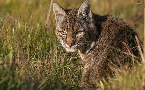 wildcat 4 wallpaper src wild cat
