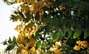 celebrating indigenous trees in your