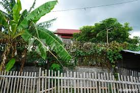 View Of Banana Tree And A Fence In The Suburbs Of Bacolod City Philippines Buy This Stock Photo And Explore Similar Images At Adobe Stock Adobe Stock
