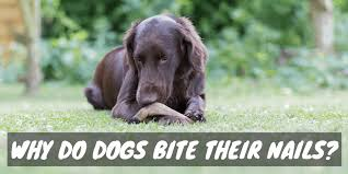 bad habit why do dogs bite their nails