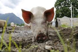 The Easiest Way To Train Pigs To An Electric Fence Off The Grid News