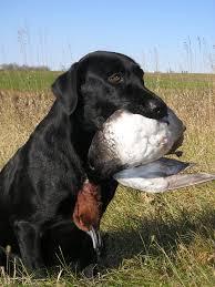 Hunting dog - Wikipedia