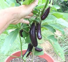growing eggplant in containers happy