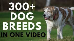 all dog breeds in one video from a to