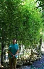 Bamboo Plant Instant Privacy 200 Bamboo Plants 17 Tall Fence 1 2off Wholesale Ebay