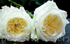 garden rose Mayra's White - Batian Flowers