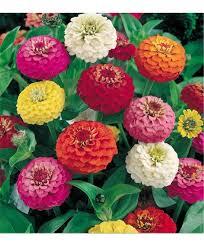 zinnia liliput flower seeds
