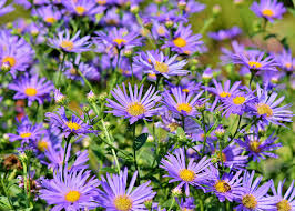 grow and care for aster flowers