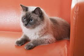 watery eyes in cats cat appy