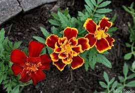 uses for marigolds garden to kitchen