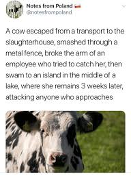 Notes From Poland A Cow Escaped From A Transport To The Slaughterhouse Smashed Through A Metal Fence Broke The Arm Of An Employee Who Tried To Catch Her Then Swam To An