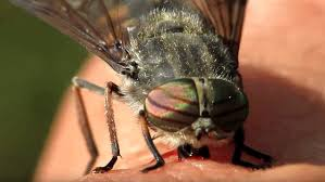 Video: Close up footage shows a horsefly feasting on human blood ...