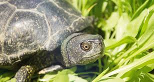 The Meaning Of A Turtle Sighting California Psychics
