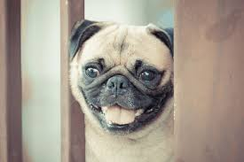 pugs can and can t eat