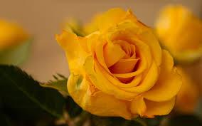beautiful yellow rose flower yellow