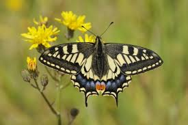 Swallowtail butterfly | The Wildlife Trusts