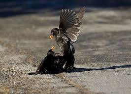 blackbird two males fighting 1301953