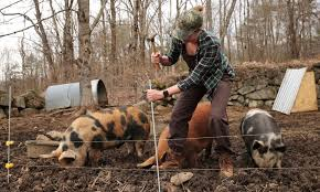 Train Piglets On Electric Fence The Modern Day Settler