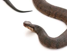 cottonmouth snakes water moccasin in