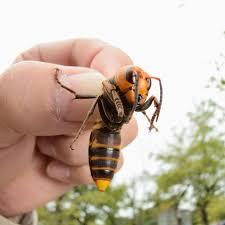 Murder hornets: The Asian giant hornet ...