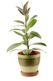 rubber plant ficus elastica care