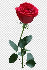 ماكرو من وردة حمراء زهرة وردة حمراء وردة Png