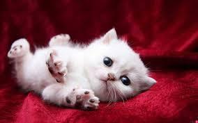 اجمل صور قطط صور حيوانات اليفة كلمات جميلة