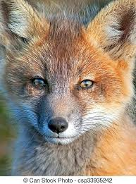 baby fox cute fo 2 squirrel pictures