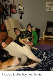 25 best memes about toy fox terrier