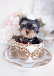 toy or teacup yorkies teacup