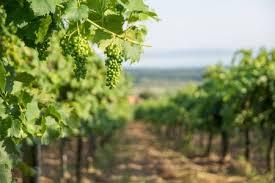 Balaton szőlő Stock fotók, Balaton szőlő Jogdíjmentes képek | Depositphotos®
