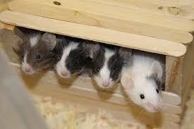Why Do Mice Make Good Pets?
