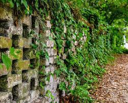 Ivy Stone Wall Photograph by Clyn Robinson