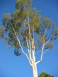 how to care for a eucalyptus tree