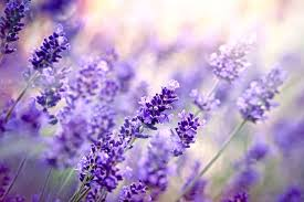 lavender flower meaning flower meaning