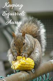 natural squirrel repellent ideas keep