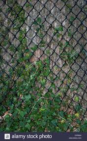 Invasive Hedera Helix English Or Common Ground Ivy Threatening To Stock Photo Alamy