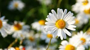 best 36 daisy desktop backgrounds on