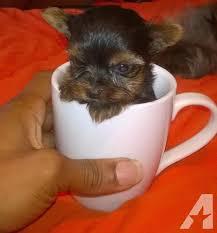 teacup yorkie in memphis