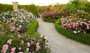 tips on growing roses in your garden