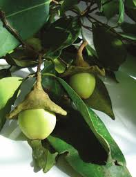Aceite foliar de Ocotea quixos (Lam.) Kosterm.: actividad ...